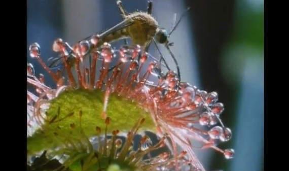 モウセンゴケの画像 p1_35