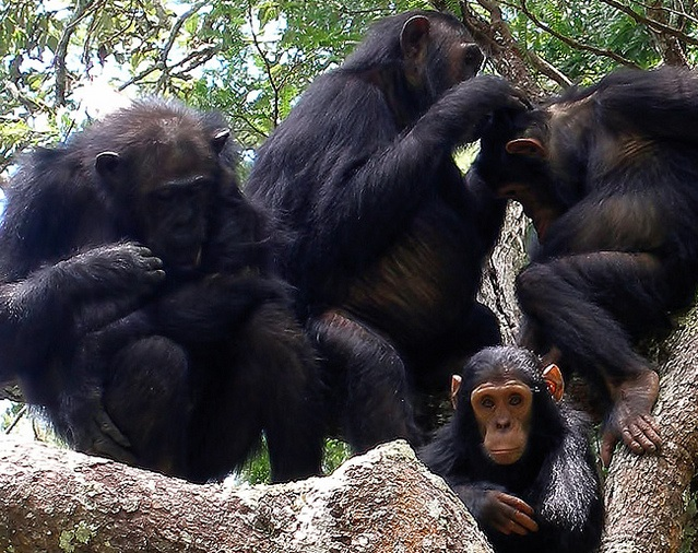 チンパンジーの画像 p1_30