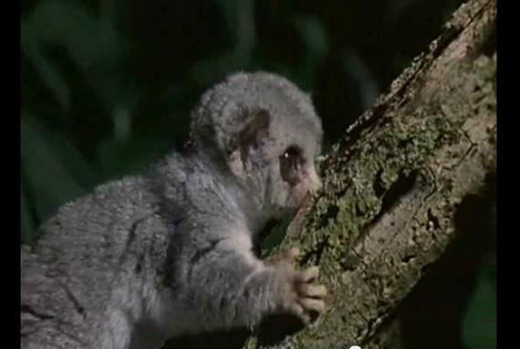 世界最小の霊長類ピグミーネズミ...