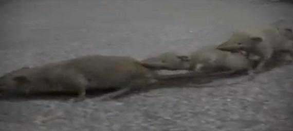 ジャコウネズミの画像 p1_12